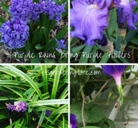 Purple Rains Bring Purple Flowers! how to garden beginner gardener