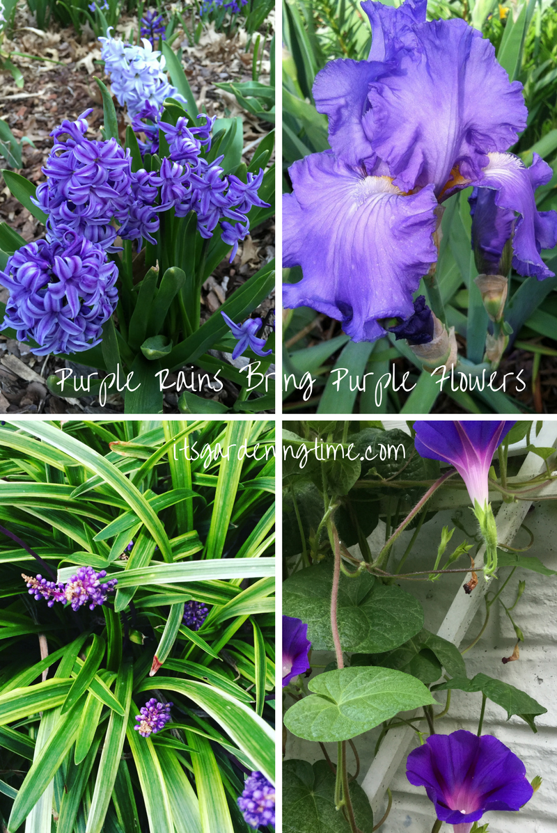 Purple Rains Bring Purple Flowers! how to garden beginner gardener