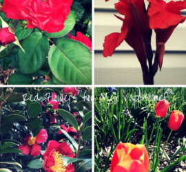 Red Flowers for My Valentine! how to garden beginner gardening