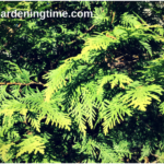6 Reasons to Grow Golden Globe Arborvitae! #evergreens