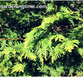 Golden Globe Arborvitae Evergreen how to garden beginner gardener