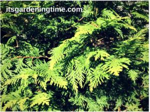 Golden Globe Arborvitae Evergreen how to garden beginner gardener
