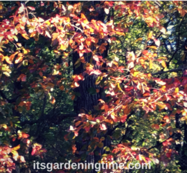 Black Tupelo Tree in Autumn! trees how to garden beginner gardener beginner gardening