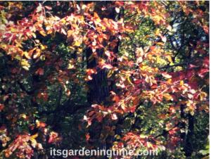 Black Tupelo Tree in Autumn! trees how to garden beginner gardener beginner gardening