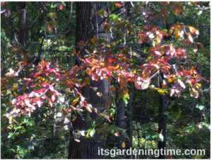 Black Tupelo Tree in Autumn!