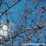 Will Japanese Cherry #Tree Buds Survive #Snow Blizzard? #trees