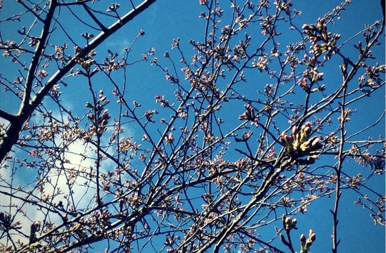 Japanese Cherry Tree Buds how to garden beginner gardener beginner gardening