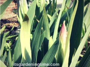 Bearded Irises Preparing for Spring Parade! how to garden beginner gardener beginner gardening