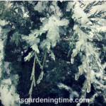Icy #Evergreens in #Winter #Landscape! #landscapes
