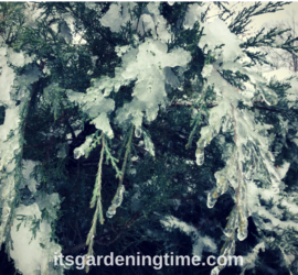 Icy Evergreens in Winter Landscape! how to garden beginner gardener beginner gardening