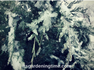 Icy Evergreens in Winter Landscape! how to garden beginner gardener beginner gardening