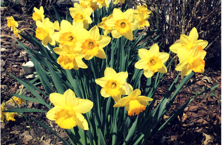 Daffodils Blooming in Late Winter! how to garden beginner gardener beginner gardening