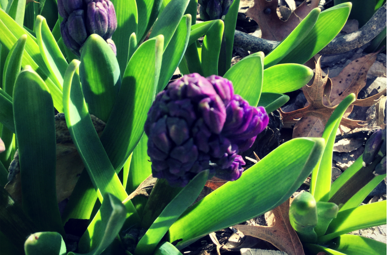 Grape Hyacinth Buds Forming in Late Winter! how to garden beginner gardener beginner gardening