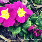 8 Reasons to #Grow #Primrose! #flowers #flowerpower #flower
