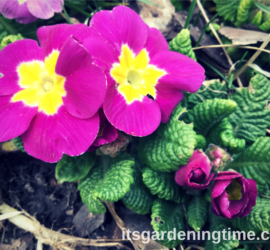 Primrose Flowers in Early Spring how to garden beginner gardener beginner gardening