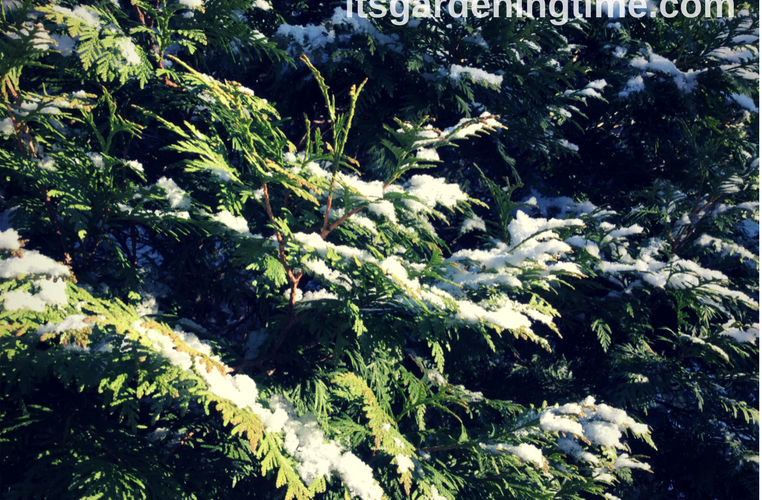Dusting of Snow on Evergreen! how to garden beginner gardener beginner gardening