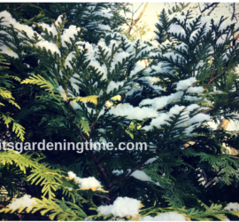 Dusting of Snow on Evergreen! how to garden beginner gardener beginner gardening