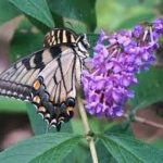 How to #Grow & Care for #Butterfly Bush! #gardeningtips