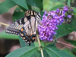 Butterfly Bush [Photo Courtesy: www.pixabay.com] how to garden beginner gardener beginner gardening