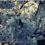 Immerse Yourself in Cherry Blossoms! #flower #flowers