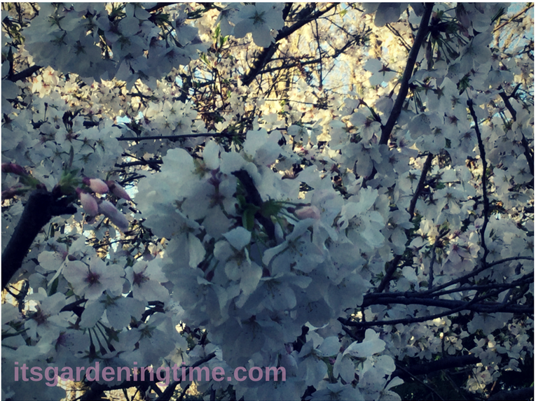 Immerse Yourself in Cherry Blossoms! how to garden beginner gardener beginner gardening itsgardeningtime