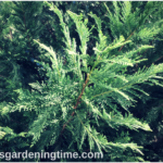 Growing Leland Cypress #Evergreen! #landscape