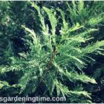 Growing Leland Cypress #Evergreen! #landscape