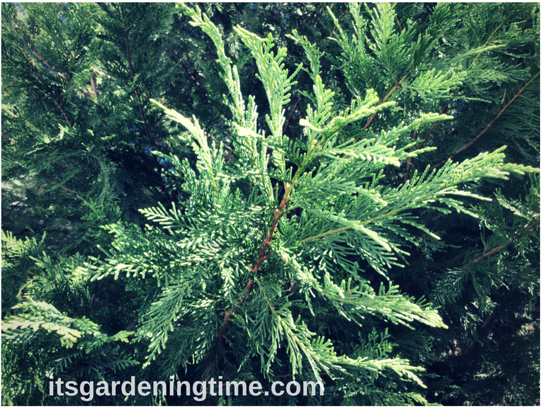 Leland Cypress Evergreenhow to garden beginner gardener beginner gardening itsgardeningtime