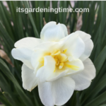 Maintenance-Free Daffodil #Flowers! #garden #gardening