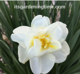 Maintenance-Free Daffodil Flowers! how to garden beginner gardener beginner gardening