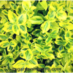 Euonymus #Shrub Brightens #Spring #Landscape! #shrubs