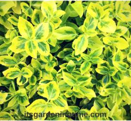 Euonymus Shrub Brightens Spring Landscape! how to garden beginner gardener beginner gardening