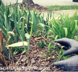 Cut Back Blue Coreopsis Shrub in Early Spring! how to garden beginner gardener beginner gardening