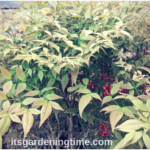 Heavenly Bamboo #Shrub Fills Empty Space in #Landscape! #shrubs