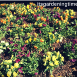 A #Garden Full of #Pansies! #pansy #flower #flowers