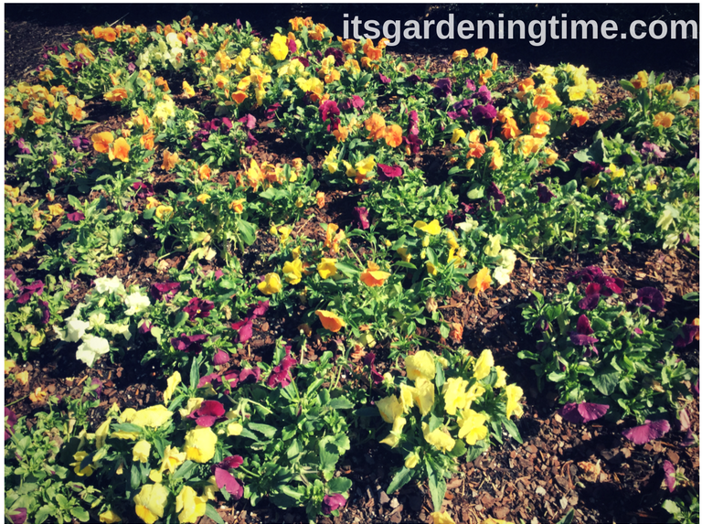 Pansy Garden how to garden beginner gardener beginner gardening