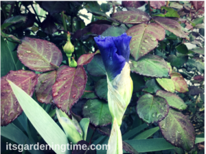 Sonata in Blue Bearded Iris w/ RoseBush in Background how to garden beginner gardener beginner gardening