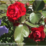 Red #Roses & Sonata in Blue Bearded #Irises Share Spotlight!