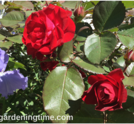 Red Roses & Sonata in Blue Bearded Iris how to garden beginner gardener beginner gardening