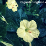 4 Reasons to #Grow Four O'Clocks! #garden #gardening #flowers