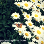 Red Admiral #Butterfly Enjoys #Daisy #Flower Head! #daisies #flowers