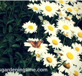 Red Admiral Butterfly on Daisy! how to garden beginner gardener beginner gardening