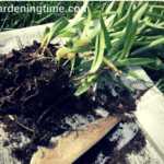 Transplanting Asiatic #Lilies! #garden #gardening #lily