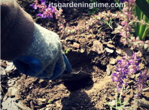 Transplanting Asiatic Lilies how to garden how to plant transplant transplanting how to transplant how to dig a hole