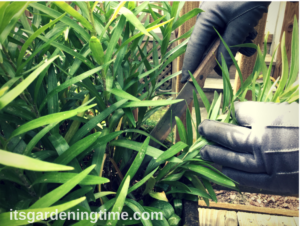 Transplanting Asiatic Lilies how to garden how to plant transplant transplanting how to transplant