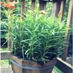 Grow #Lilies in #Containers! #containergardening #containergarden