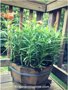 Grow Lilies in Containers how to garden beginner gardener beginner gardening lily lilies containergarden containergardening