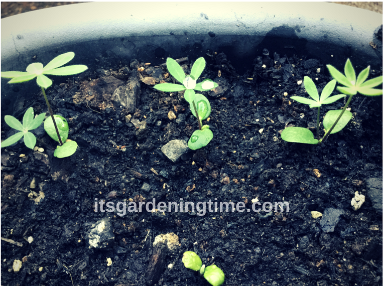 Lupine Seedlings how to garden beginner gardener beginner gardening grow from seed grow from seeds