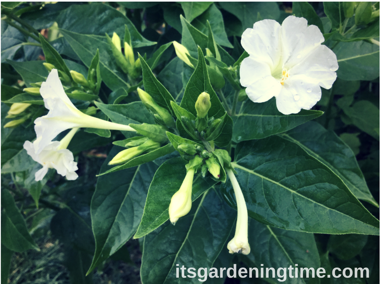 Summerparade of gorgeous flowers garden gardening its four oclocks white flowers mightylinksfo