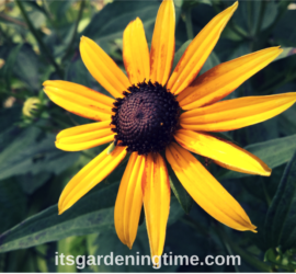 Black-Eyed Susan Joins Summer Parade! how to garden beginner gardener beginner gardening